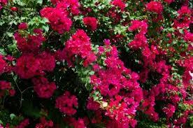 Bougainvillea ... gorgeous plant!