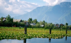 The floating gardens or rads on Dal Lake are very beautiful, particularly when the flowers are in bloom.
